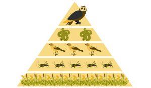 O Que É Uma Pirâmide De Biomassa?