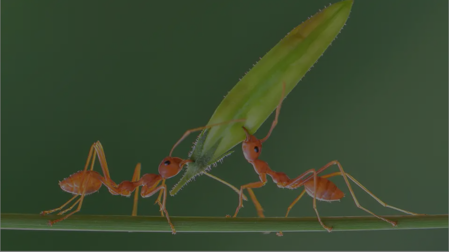 Quão fortes são as formigas?